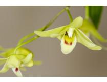 Dendrobium tosaense