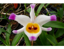 Dendrobium wardianum 1