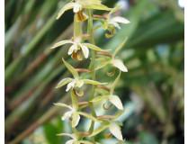 Dendrochillum abbreviatum