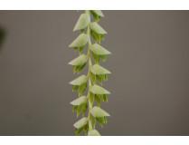 Dendrochillum latifolium