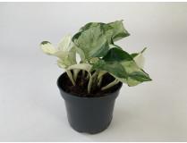 Epipremnum pinnatum 'Happy Leaf'
