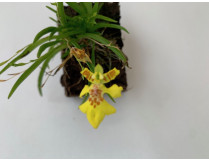Erycina crista-galli (syn. Psygmorchis, Oncidium)