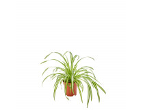 Chlorophytum comosum 19 cm Topf