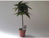 Begonia corallina 'Tamaya'