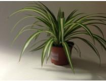 Chlorophytum comosum 12 cm Topf