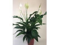 Spathiphyllum Cupido Bingo