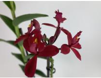 Epidendrum Ballerina 'Red' (1 Rispe)
