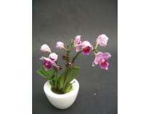 Phalaenopsis Lady Orchid