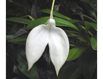 Masdevallia coccinea 'alba'