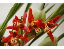 Maxillaria tenuifolia 1