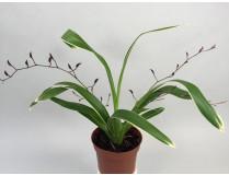 Oncidium Kathrin Zoch 'variegata'