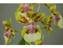 Oncidium Margareth Chenoweth