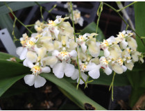 Oncidium Misaki Obry 'Only You'