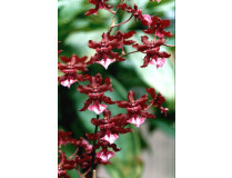 Oncidium Sharry Baby 'Sweet Fragrance' 2