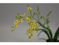 Oncidium Tiny Twinkle 'Gold Dust' (4 Rispen)