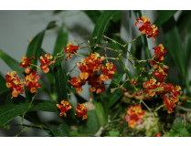 Oncidium Tiny Twinkle 'Orange Pride'