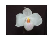 Paphiopedilum Armeni White x delenatii 'alba'