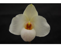 Paphiopedilum Armeni White (armeniacum x delenatii)