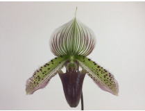 Paphiopedilum callosum 'Big' x sukhakulii