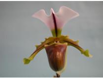 Paphiopedilum spicerianum