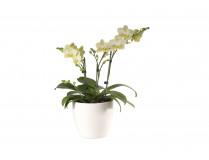 Phalaenopsis-Präsent
