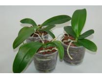 Phalaenopsis Jungpflanzen-Sortiment