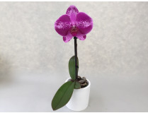 Phalaenopsis Big Singolo 'Purple'