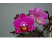 Phalaenopsis Mini Purple