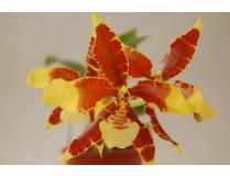 Rossioglossum grande x splendens