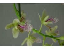 Sedirea japonica 1