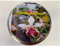 Vanda lamellata (im sterilen Glas)