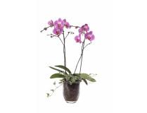 Phalaenopsis Hybride in Glasvase