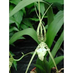 Brassia verrucosa