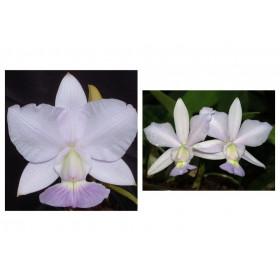 Cattleya walkeriana var. coerulea 'Terra Azul' x 'Edward'