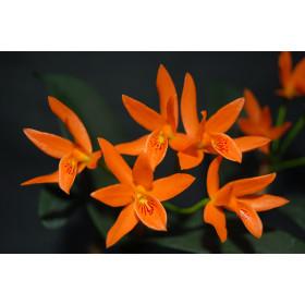 Cattleya aurantiaca (Jgpfl.)