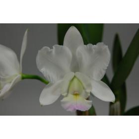 Cattleya walkeriana x loddigesii 'alba'
