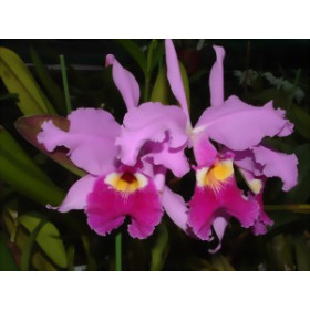 Cattleya warszewiczii