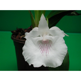 Cochleanthes amazonica
