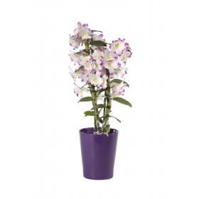 Dendrobium Irene Smile (inkl. Übertopf)