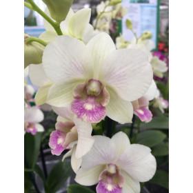 Dendrobium Sa-Nook 'Snow Jade'