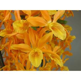 Dendrobium Stardust 'Firebird'