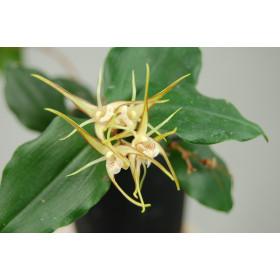 Dendrobium tetragonum 'giganteum'