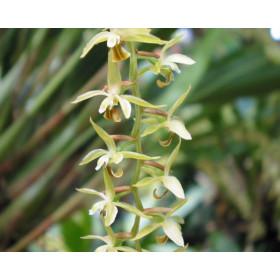 Dendrochilum abbreviatum