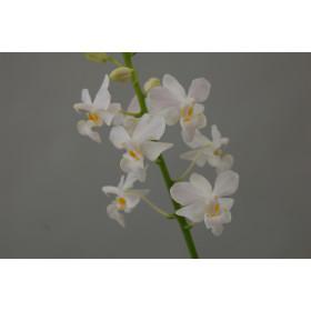 Doritis pulcherrima 'alba' (Jgpfl.)