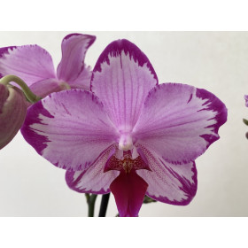 Phalaenopsis Toshi