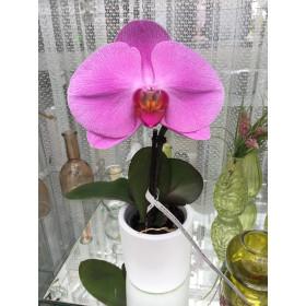 Phalaenopsis Big Singolo 'Purple' (inkl. Übertopf)