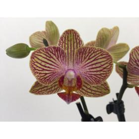 Phalaenopsis Little Orange Stripes
