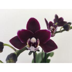 Doritaenopsis Little Black Pearl (2 Rispen)