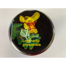 Lockhartia goyazensis (im sterilen Glas)