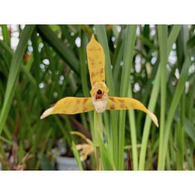 Maxillaria acutipetala